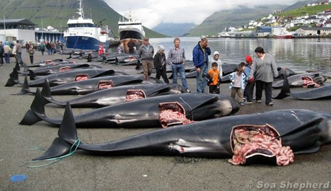 Celebrities battle to stop Faroese dolphin 'grind'