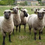 """<b>9. Plural nouns</b><br>  Another common mistake among non-native English speakers is our tricky approach to some plural nouns. """"I saw some sheeps on the side of the road, and I thought to myself, 'Their wool would make good covers for my furnitures."""" Danes also tend to pluralize money: """"He asked if he could borrow 20 kroner, but I didn't have them.""""Photo: Greg McMullen/Flickr"""