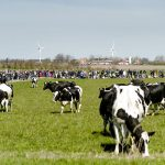 For dairy cows to qualify as organic, they need to spend their summer on grass. Photo: Simon Skipper/Scanpix