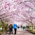 Danes and tourists enjoy the cherry blossoms at Bispebjerg Cemetery on Monday, April 20.Photo: Sophia Juliane Lydolph/Scanpix