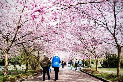 Copenhagen's cherry blossoms bring out the selfies