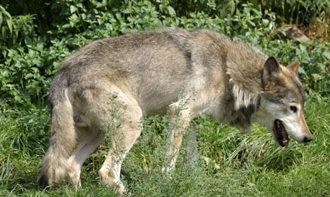 First proof that female wolves are in Denmark