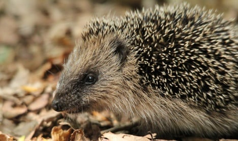 Danish hedgehogs dying in massive numbers