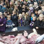 The Odense Zoo's public dissection was attended by hundreds of guests and went off as planned despite some protests. Photo: Claus Fisker/Scanpix