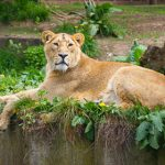 Danish zoo invites kids to watch lion dissection