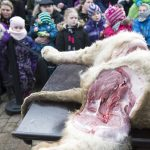 The zoo says the dissections offer a different kind of education for guests. Photo: Claus Fisker/Scanpix