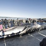Giant whale washed up on Denmark beach