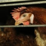 Denmark's largest grocer to phase out cage eggs