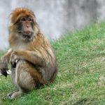 Monkey survived six weeks on the loose in Denmark