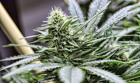 Dane faces 10 years for selling cannabis to cancer patients