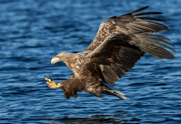 Record number of eagles now living in Denmark