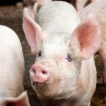 Danes want to make life better for pigs with new food label