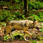 Danish farmers want new plan as wolves breed