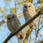 """<b>Der er ugler i mosen – There are owls in the bog</b><br> There's something very wrong or suspicious, but nobody is quite sure what it is. How often owls actually show up in Danish bogs is unclear.Photo: MennoSchaefer/<a href=""""https://depositphotos.com/127256976/stock-photo-the-tawny-owls-or-brown.html"""">Depositphotos</a>"""