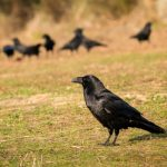 """<b>Derude, hvor kragerne vender – The place where the crows turn back </b><br>  The meaning of this one is a little easier to deduce – it means a place far away.Photo: Gelpi/<a href="""" https://depositphotos.com/138316144/stock-photo-beautiful-black-crows.html"""">Depositphotos</a>"""
