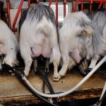 Danish family smuggled 69 dogs, 10 horses and 4 goats to Sweden
