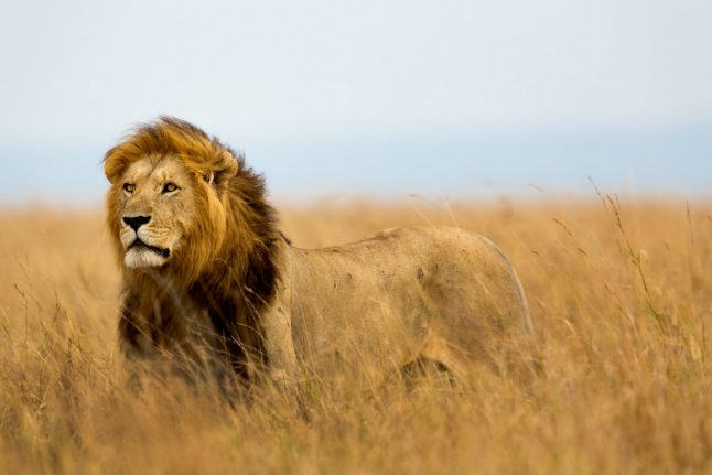 Denmark horse owners in queue to donate dead animals to lions
