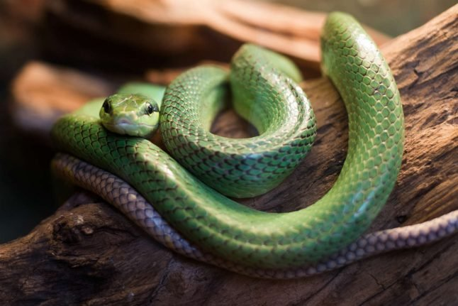Danish scientists test rock singer who has been injecting himself with snake venom for 25 years
