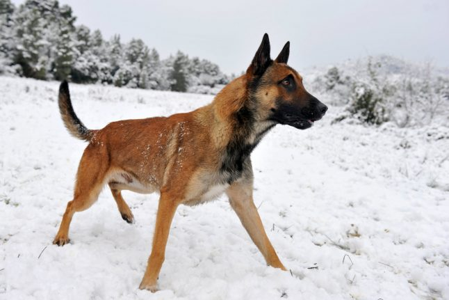 Danish police drop charges in case of stolen sniffer dog