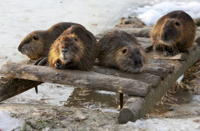 Dane loses court case over gnawing beaver problem