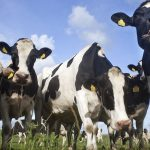 Danish bulls could provide sperm for climate-friendly cows