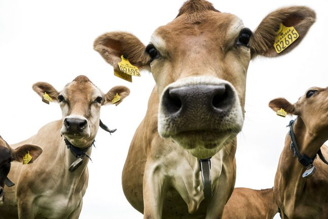 Escaped cows cause chaos on Copenhagen highway