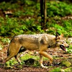 Danish police wait for forensic results in 'wolf killing' case