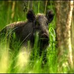 Denmark's border fence would be no use, wild boar can swim across: hunter