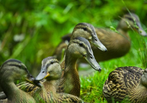 Cull of 20,000 Danish ducks could have been avoided: farmer