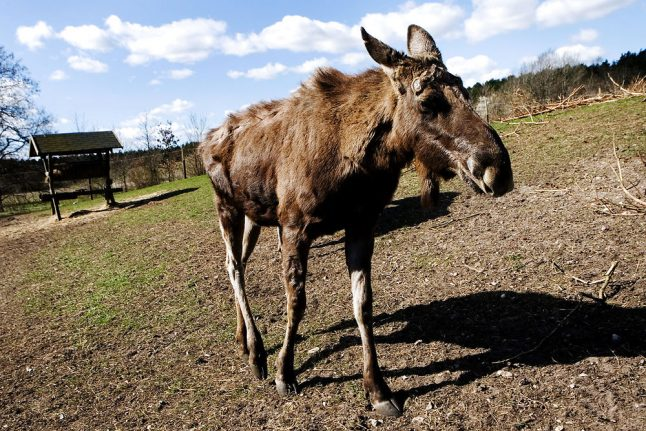 Wild elk spotted in Denmark for first time since 1999