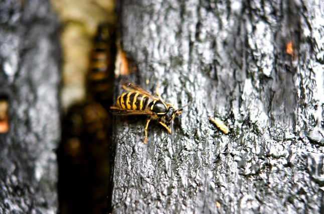 Plague of wasps is sting in the tail for Danish pest control