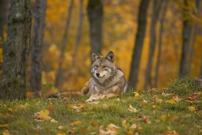 Denmark to tag wolves in effort to learn more about returning species