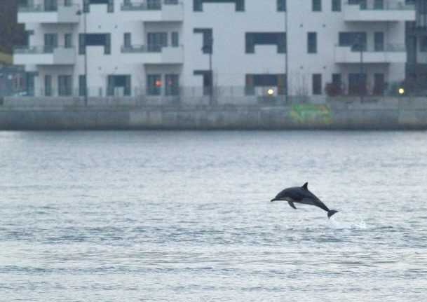 Rarely-sighted dolphin swims in Danish waterway