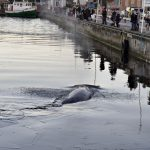 Whale helped free by passers-by after getting stuck at Danish quayside