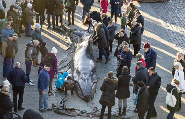 Dead whale dissected on Danish quayside