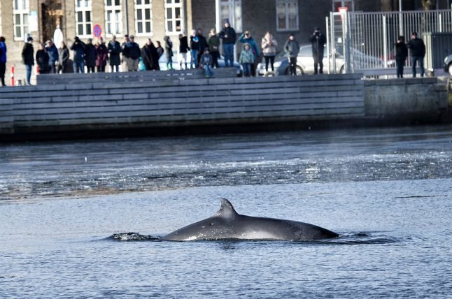 Local residents make plan to help whale stuck in Danish harbour