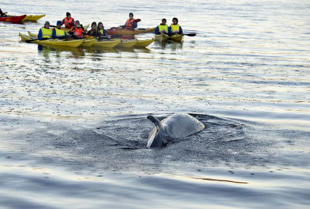 Whale dies after ten days lost in Danish harbour