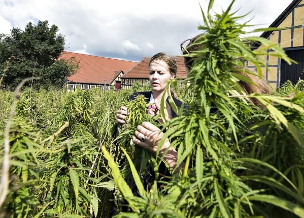 Danish medicinal cannabis prescriptions exceed expected numbers