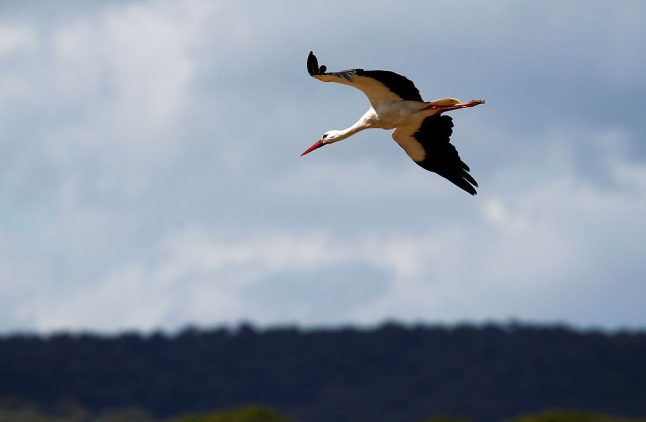 First stork of the year lands in Denmark