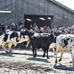 EXPLAINED: What is Denmark's 'cow spring break' all about?