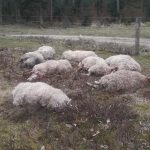 25 sheep killed in 'Denmark's biggest' wolf attack