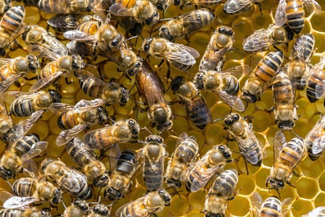 100,000 'peaceful' bees exterminated by Danish town