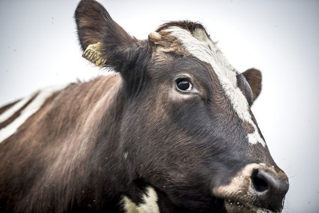 Danish police shoot 'aggressive' cow after escape from abattoir