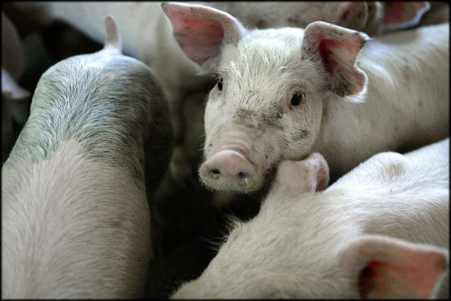 100 pigs loose on Danish road after truck overturns