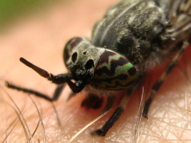 Common horse fly